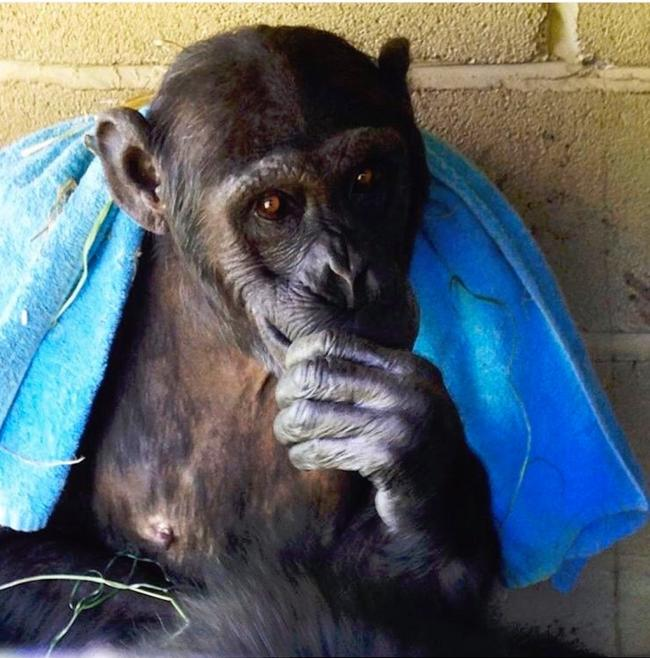 Mali the chimp after drying herself off with a towel.