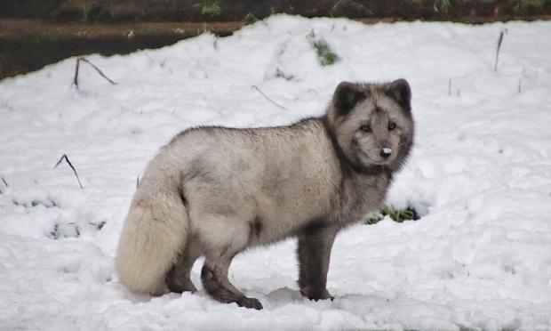 Stourbridge News: Arctic fox Tommy