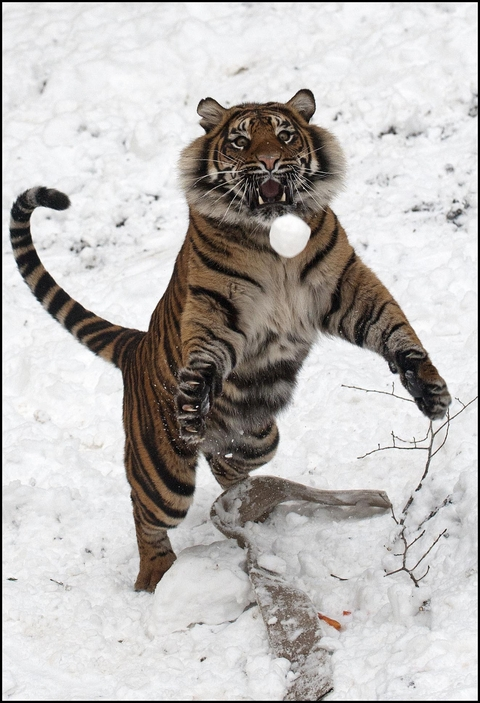 Dudley Zoo's Daseep has a ball in the snow