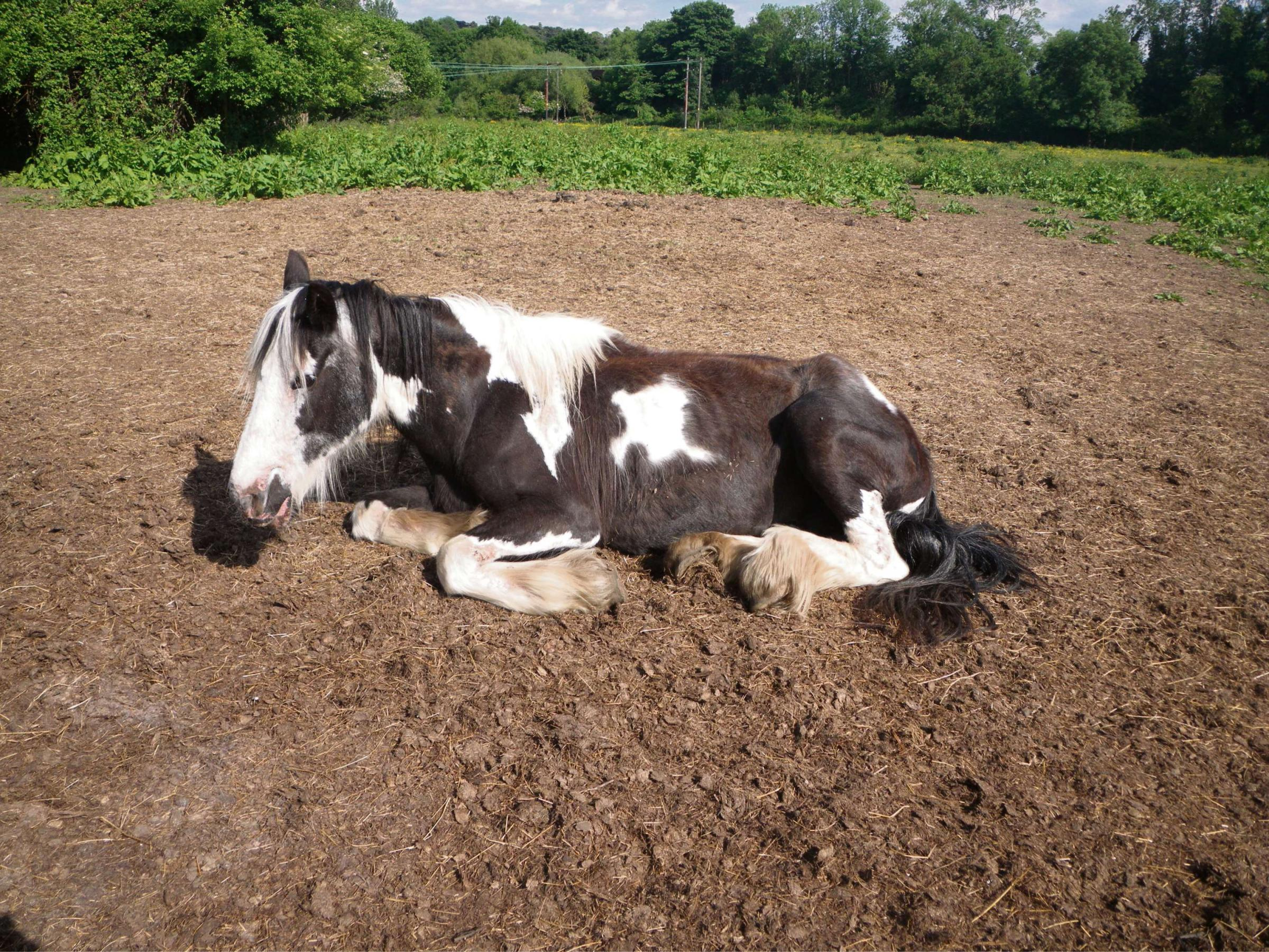 The 16-year-old piebald mare which had to be put to sleep after suffering from ragwort poisoning.