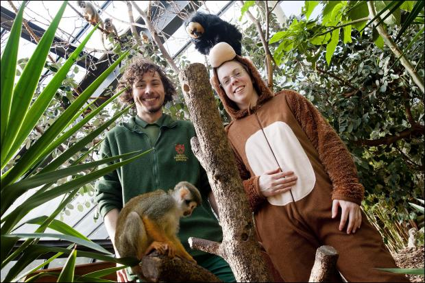 Stourbridge News: Head of lower primates, Nicola Wright, gets to work in her monkey onesie alongside trainee keeper, Shaun Crompton.