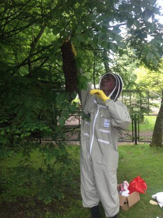 Bee-keeper Robert Cheswick removing a swarm of honey bees at Dudley Zoo
