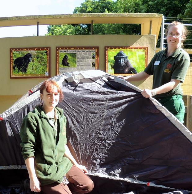 Stourbridge News: Upper primates keeper Stephanie Sawyer, left, and lower primates section leader Nicola Wright, right, practise pitching their tent ahead of their charity challenge in aid of Sulawesi crested black macaques