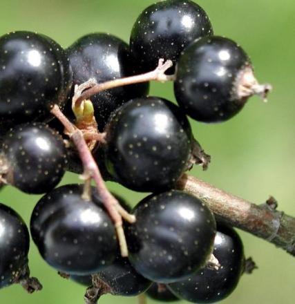 Eco group seeks help with blackcurrant picking at Kinver farm