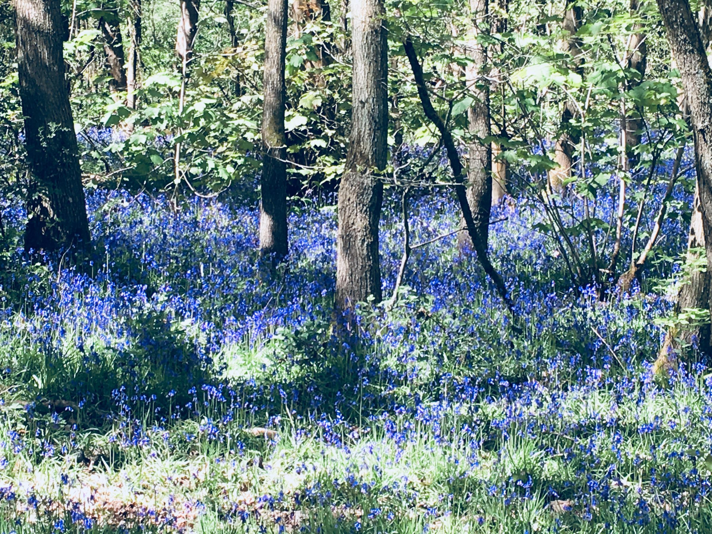Bluebells in bloom in the Saltwells Local Nature Reserve, pictured in May 2018.