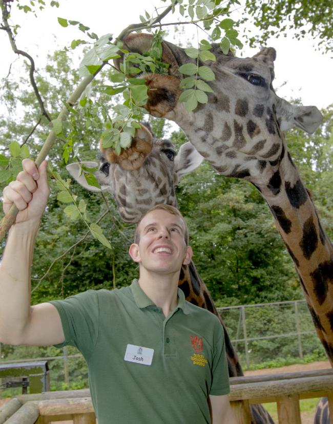 Keeper Josh Luxton with giraffes Josie and Kubwa.